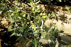 azienda-sensi-olive-verdi